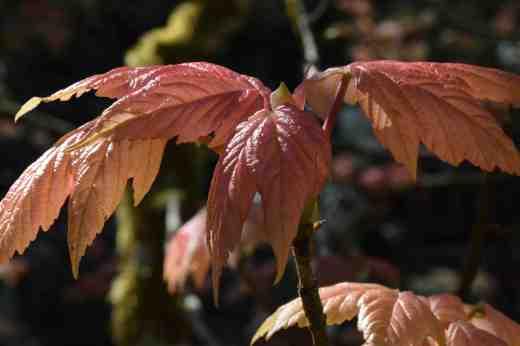 New leaves on Acer pseudoplatanus 'Brilliantissima'
