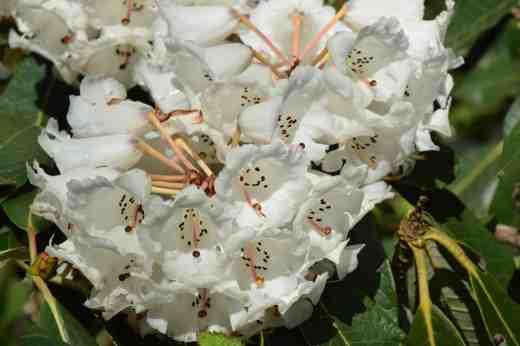 Big-leaf rhododendron