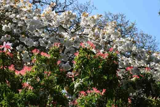 Cherry and pieris
