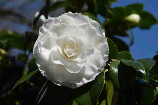 There are 100s of camellias but I love the formal doubles best