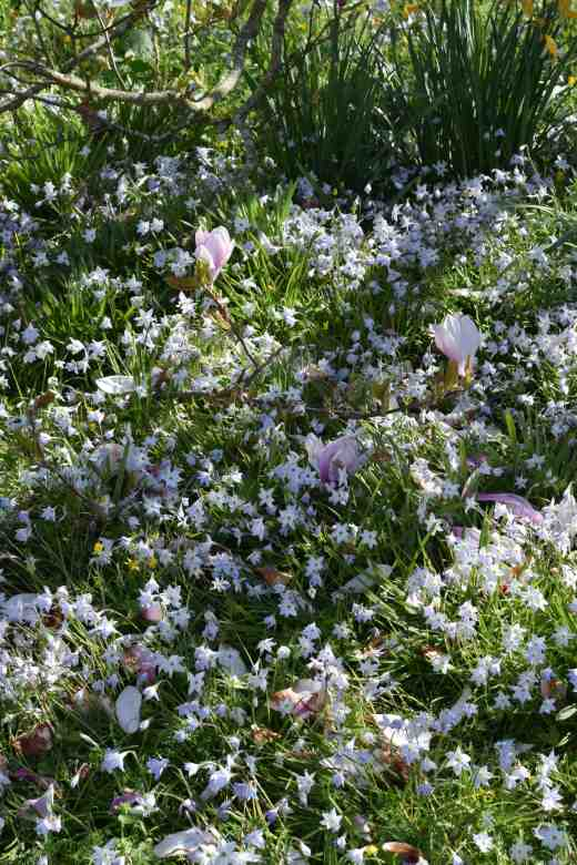 White, starry flowers almost smothering the grass. And it is Ipheion! OMG!