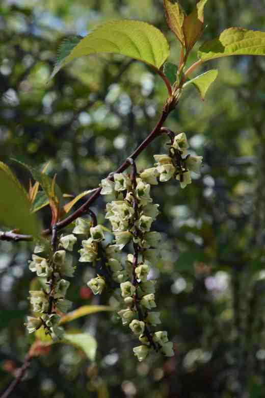 The flowers of stachyurus were just hanging on