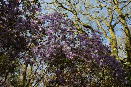 Looking up at huge blue rhododendrons