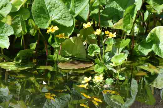 The waterfall was not running when I was there but the still water reflected the marsh marigolds