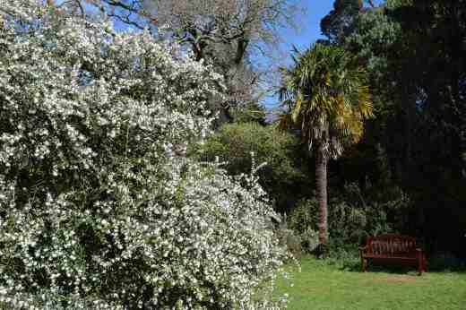 There were several large bushes of Osmanthus delavayi and the profusion of sweetly scented white flowers scented the air