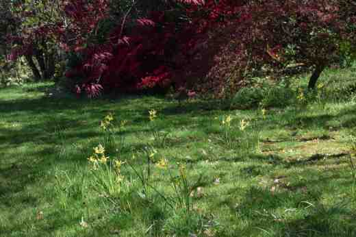 The 'spare' 'Hawera' bulbs were planted in grass under Japanese maples. The bulbs from the basket will go here when they die down.