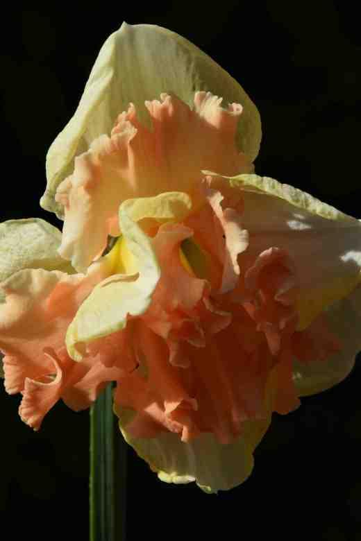 'Vanilla Peach'
