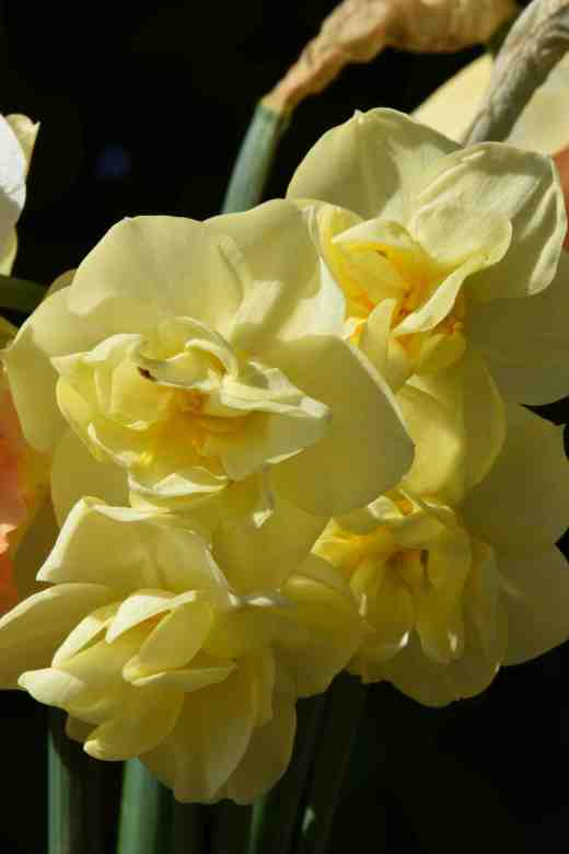 'Yellow Cheerfulness'