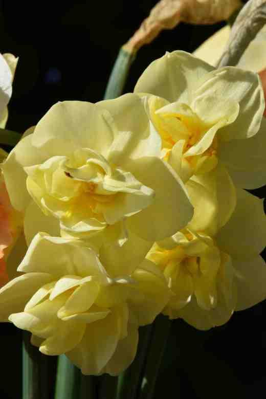 'Yellow Cheerfulness'