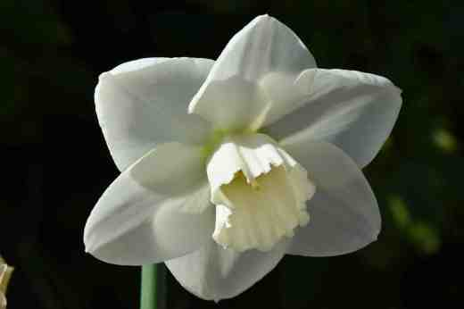 narcissus stainless