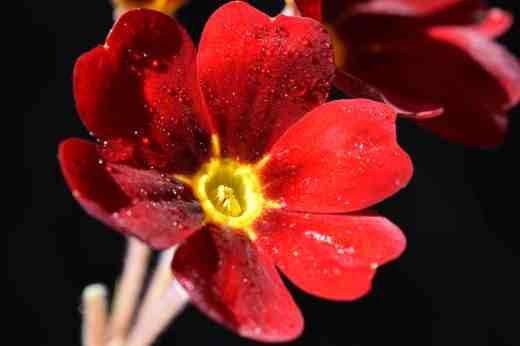 This red polyanthus has the look of a Barnhaven 'Cowichan' although it is just a random plant I bought last year
