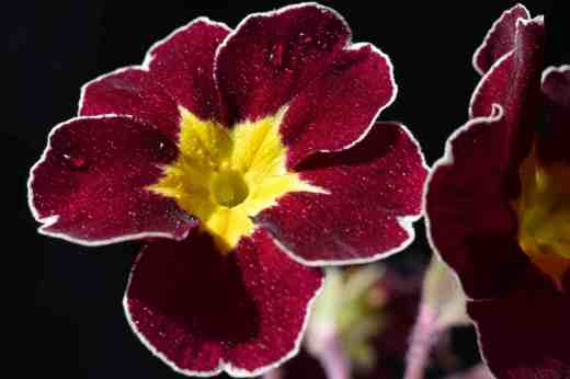 A red polyanthus with a white rim - maybe it is a far descendent of a silver-laced polyanthus