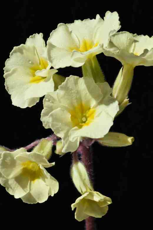 A yellow polyanthus