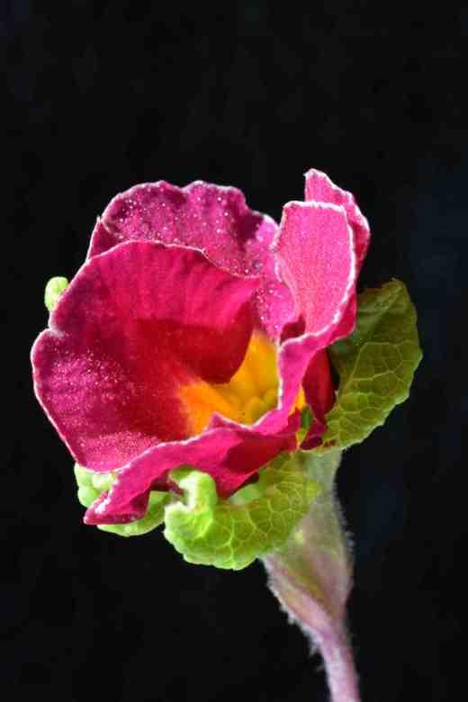 A jack-in-the-green primrose