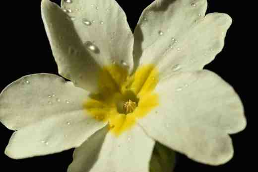 A 'thrum' primrose