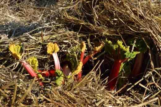 rhubarb april 15