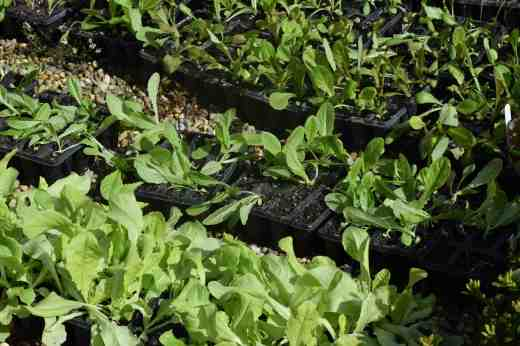 how to cut lettuce so it keeps growing