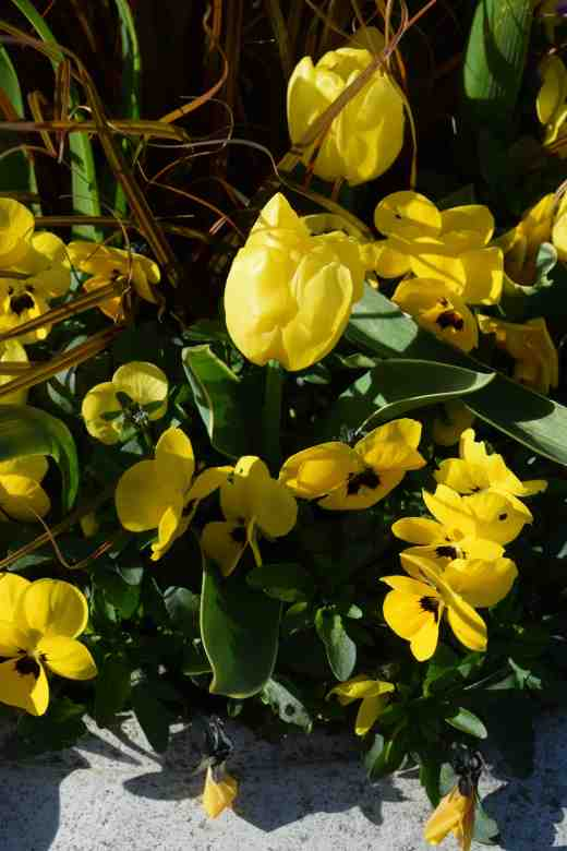 tulip calimero2
