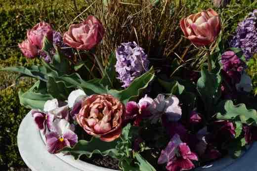 tulip la belle epoque