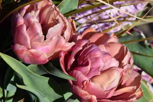 tulip la belle epoque4