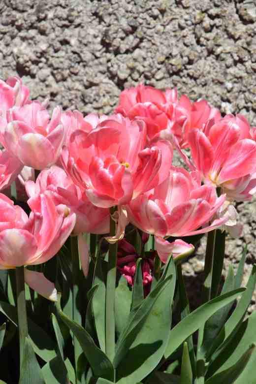 'Peach Blossom'