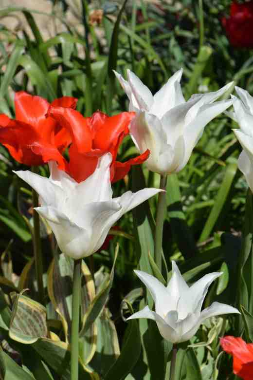 Red 'Fire of Love' and white lily-flowered tulips