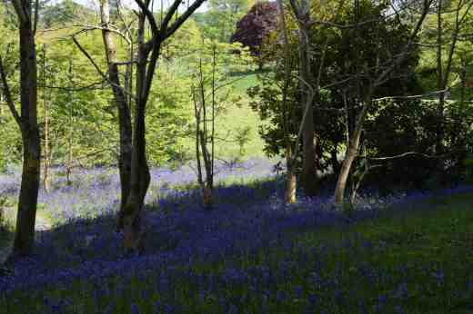 Bluebells are surely our most spectacular native flowers