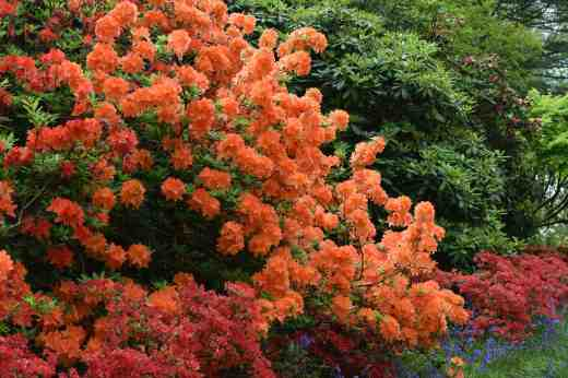 Not too subtle - a mass of deciduous rhododendrons