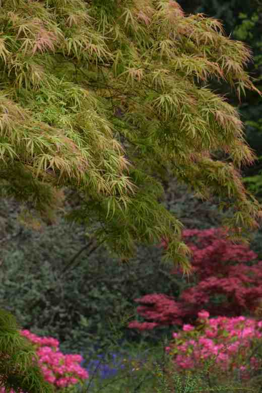 An unnamed Japanese maple