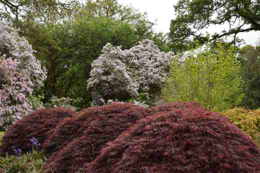 Hummocks of cut leaf purple acers in front of pale lilac rhododendrons