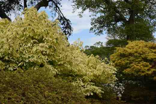 An extraordinary horse chestnut: Aesculus hippocastanum 'Hampton Court Gold' with fragile-looking primrose yellow leaves with green streaks here and there