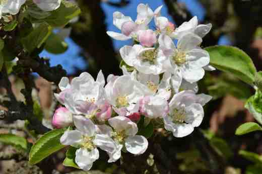 Some of the apple blossom is now at its peak with more still to open. I am worried that the frosts and cold weather of the past few weeks will mean we get poor pollination but we will find out if that is so in the next month when the fruitlets form or the flowers just drop off