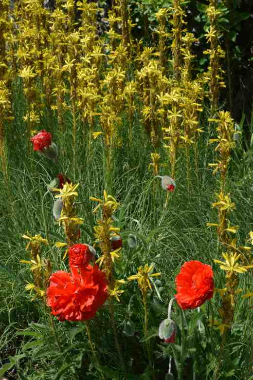 In the walled garden there was masses of colour including this contrasting pair of double oriental poppies and Asphodeline lutea.