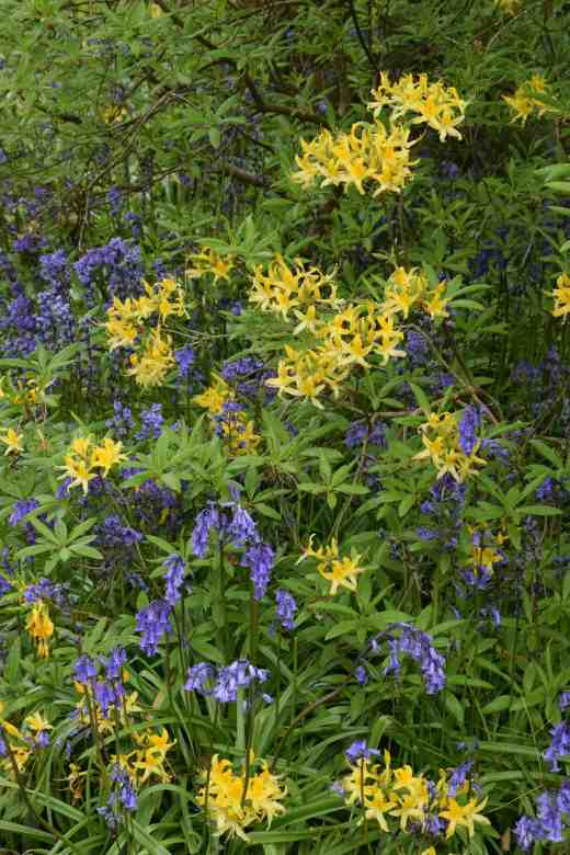 Rhododendron mollis with small, yellow flowers mixed in with bluebells