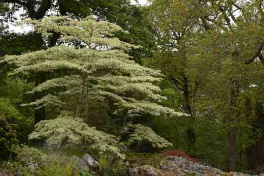 Cornus controversa 'Variegata', the wedding cake tree was beautiful at the top of the waterfall