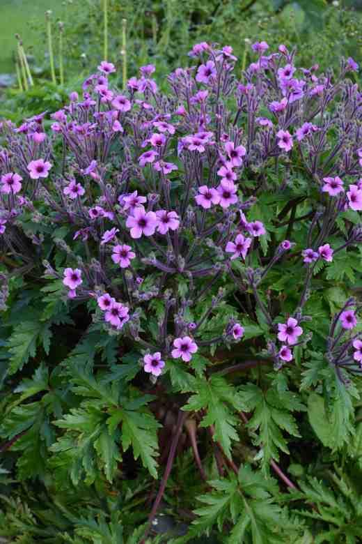 geranium mad2