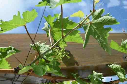 grape flowers3