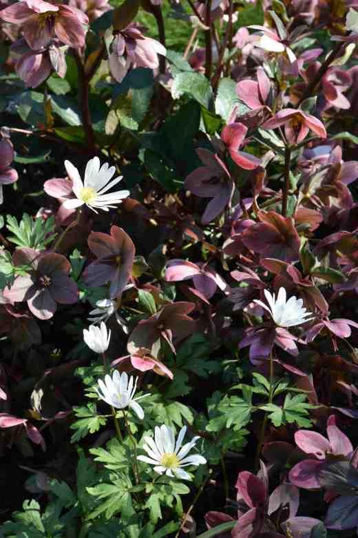 Helleborus 'Pirouette' and white anemone blanda