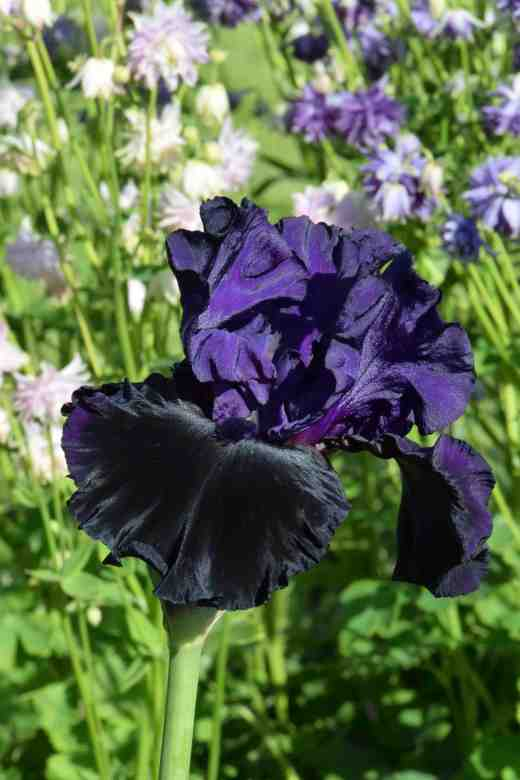 iris midnight treat