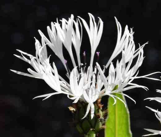 'Lady Flora Hastings'