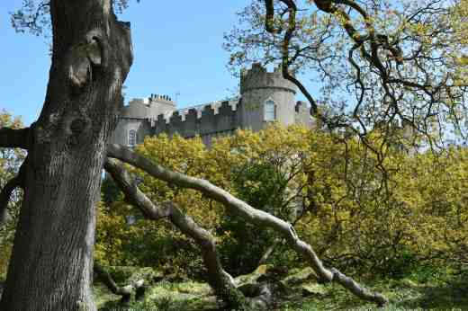 From here there is a view of the castle through a truly huge sessile oak (Quercus petraea) with widely spreading branches that sprawl across the ground