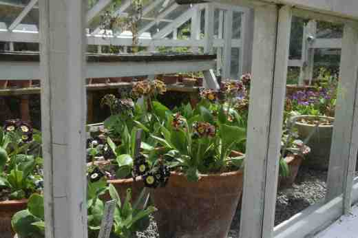 A view into a house full of auriculas - also not open