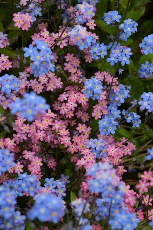 Blue and pink myosotis