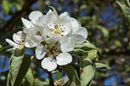 The pear blossom has been prolific but is almost over now