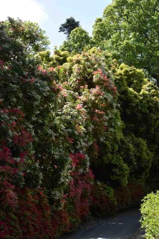 How big is your pieris? A metre high? These monsters are 5m and covered in flowers and fresh foliage