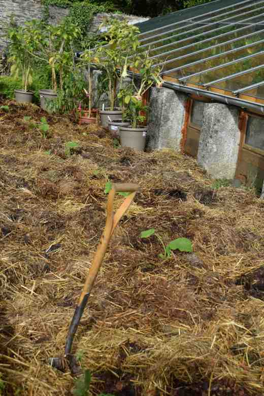 Some of the pumpkins in a south-facing bed by the greenhouse