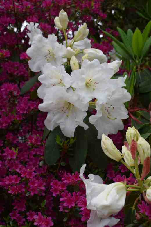 The fragrant Rhododendron decorum subsp. diaprepes x R. griffithianum
