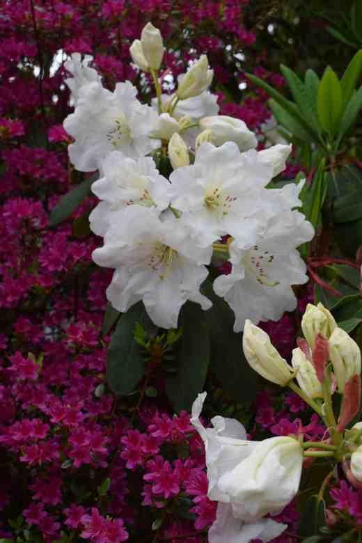 The fragrant Rhododendron decorum subsp. diaprepes x R. griffithianum