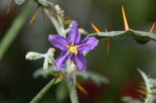 solanum pyracanthum2