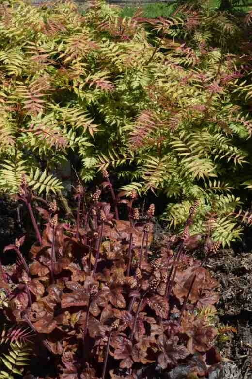 Sorbaria 'Sem' and x Heucherella 'Brass Lantern'